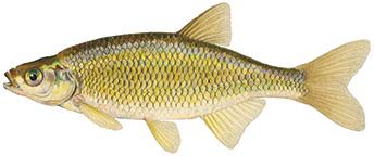 fish days